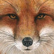 Red Fox Gaze Poster