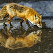 Red Fox Has A Drink Poster