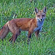 Red Fox In A Field Poster