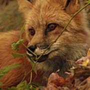 Red Fox In Autumn Leaves Stalking Prey Poster