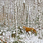 Red Fox In Birches Poster