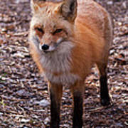 Red Fox In Prospect Park Poster