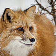 Red Fox In Snow Poster