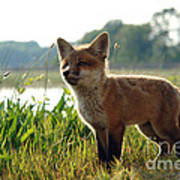 Red Fox Kit Poster