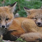 Red Fox Kit Stays Alert Poster