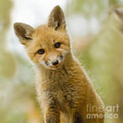 Red Fox Kit Up Close Poster
