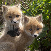 Red Fox Kits Playing Alaska Poster