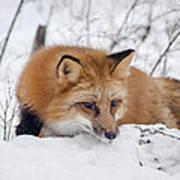 Red Fox Making Dinner Plans Poster