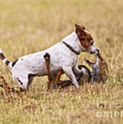 Red Fox Playing With Jack Russell Poster