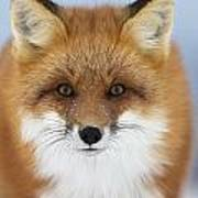 Red Fox Staring At The Camerachurchill Poster