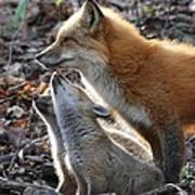 Red Fox With Kits Poster