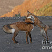Red Foxes Poster