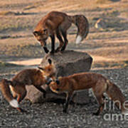 Red Foxes Vulpes Fulva Poster