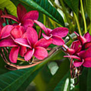 Red Frangipani Flowers Poster