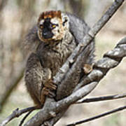 Red-fronted Lemur  Eulemur Rufifrons Poster
