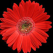 Red Gerber Daisy #2 Poster