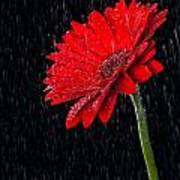 Red Gerber Daisy  Poster