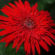 Red Gerbera Daisy Delight Poster