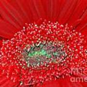 Red Gerbera Flower  Poster