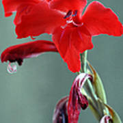 Red Gladiolus Poster