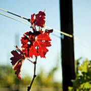 Red Grape Leaves Poster