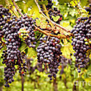 Red Grapes In Vineyard Poster