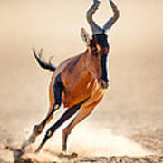 Red Hartebeest Running Poster