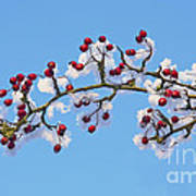 Red Haws Frosted By Snow Poster