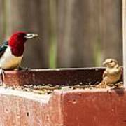 Red-headed Woodpecker Feeding Poster