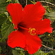 Red Hibiscus Blooming Poster