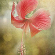 Red Hibiscus Poster by David and Carol Kelly