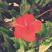 Red Hibiscus Flower Poster