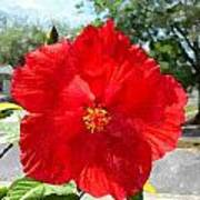 Red Hibiscus In The Neighborhood Poster