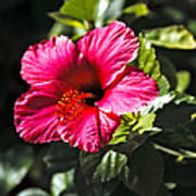 Red Hibiscus Poster by Robert Bales