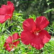 Red Hollyhocks Poster