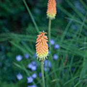 Red Hot Poker Flower Poster