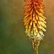 Red Hot Poker Poster
