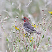 Red House Finch In Flowers Poster