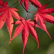 Red Japanese Maple Leafs Poster