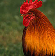 Red Jungle-fowl Poster