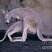 Red Kangaroo. Australia Poster