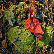 Red Leaf On Moss Poster