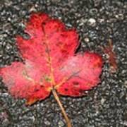 Red Leaf On Pavement Poster