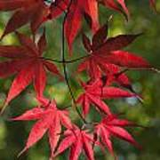 Red Leafs Of The Maple Poster