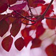 Red Leaves - Euphorbia Cotinifolia - Tropical Smoke Bush Poster
