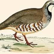 Red Legged Partridge Poster