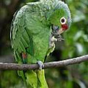 Red-lored Parrot Poster