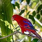 Red Lory Poster
