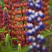 Red Lupinus Poster