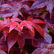 Red Maple After Rain Poster